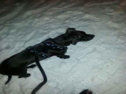 Harper, chien American Staffordshire Terrier