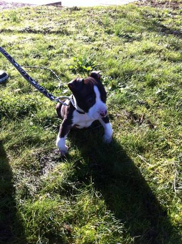 Shanks, chien American Staffordshire Terrier