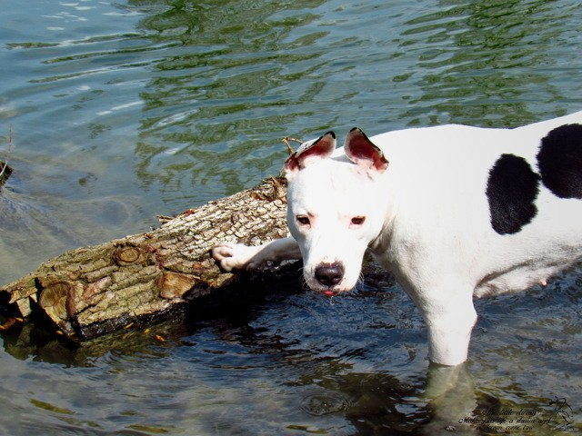 Jersey, chien American Staffordshire Terrier