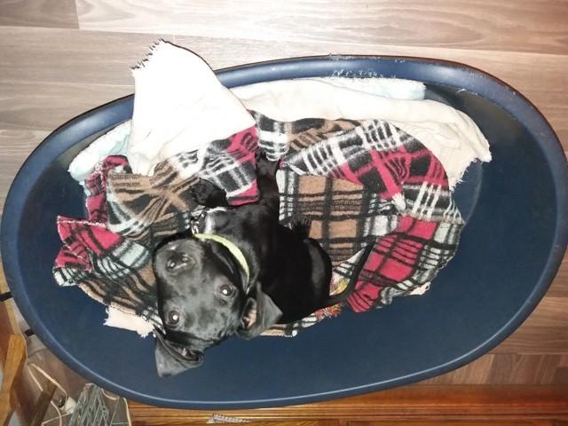 Jaxx, chien American Staffordshire Terrier