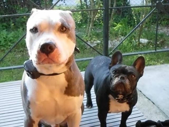 Gecko, chien American Staffordshire Terrier