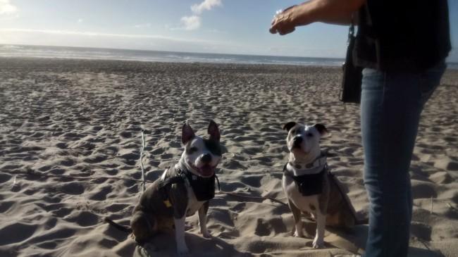 Hyzia, chien American Staffordshire Terrier