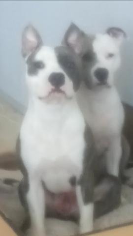 Milho, chien American Staffordshire Terrier