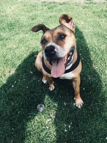 Djina, chien American Staffordshire Terrier