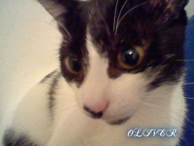 Oliver, chat American Wirehair