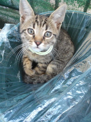 Sweety, chat American Wirehair