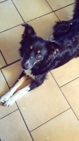 Amira, chien Border Collie