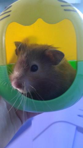 Anabelle, rongeur Hamster