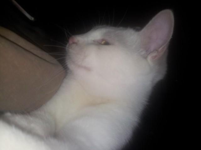 Mitcha, chat Angora turc