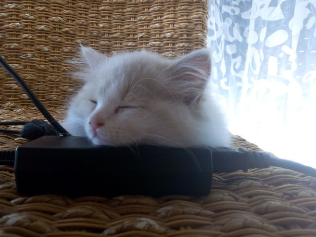 Zermat, chat Angora turc