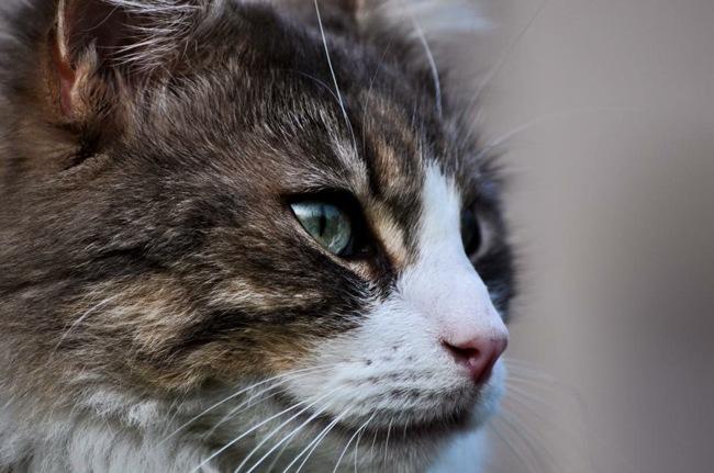 Horus, chat Angora turc