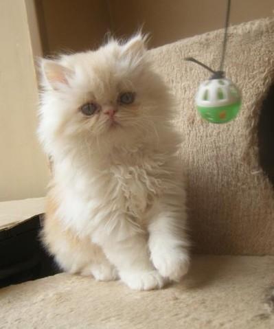 Bounty Lou, chat Persan