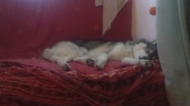 Anoki, chien Husky sibérien