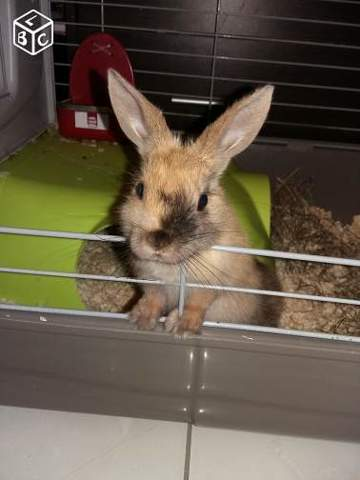 Apache, rongeur Lapin