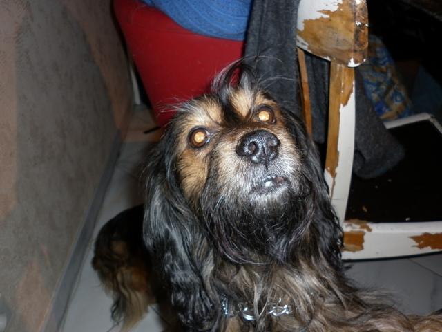 Aramis, chien Teckel
