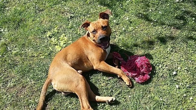 Arlo, chien American Staffordshire Terrier