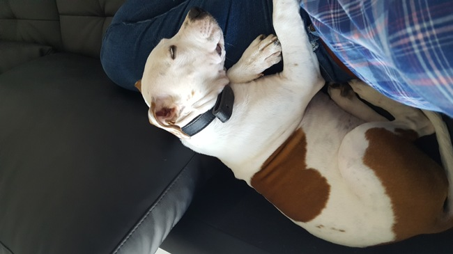 Arya, chien American Staffordshire Terrier