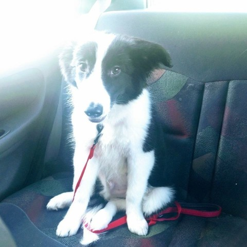 Asgard, chiot Border Collie