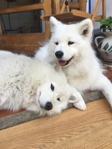 Aska, chien Samoyède