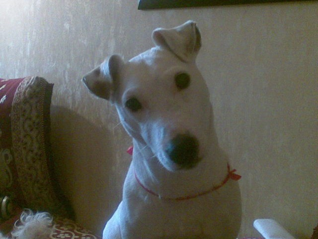 Astro, chien Jack Russell Terrier