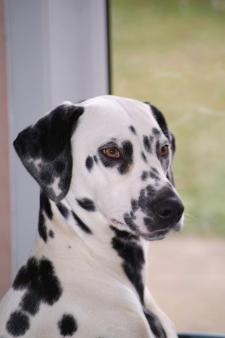Athéna, chien Dalmatien