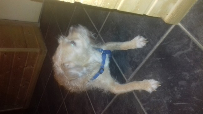 Atila, chien Griffon fauve de Bretagne