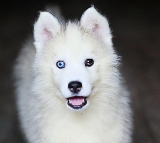 Avril, chiot Husky sibérien