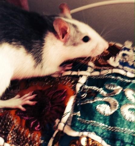 Avril, rongeur Rat