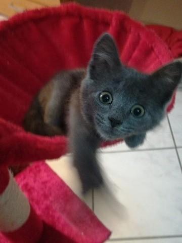 Aya, chaton Chartreux