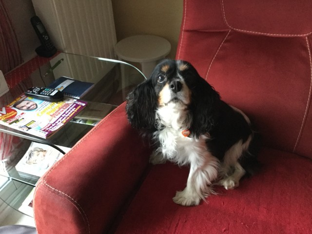 Azia, chien Cavalier King Charles Spaniel
