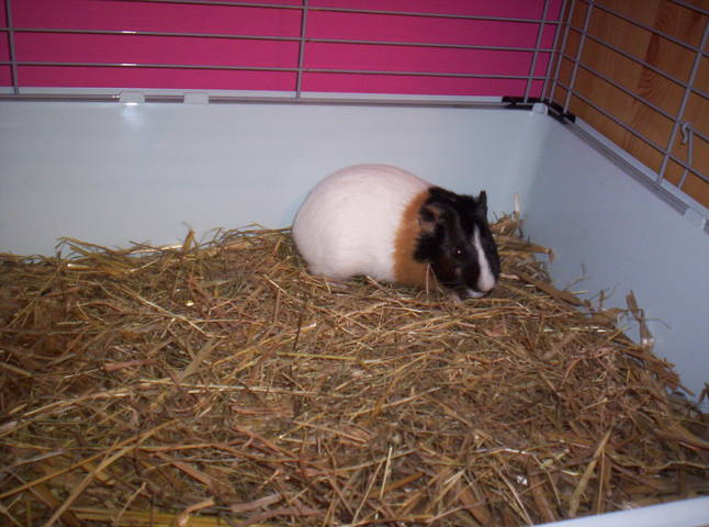 CARAMBAR, Cochon d'Inde