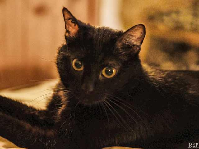 Baghera, chaton Européen