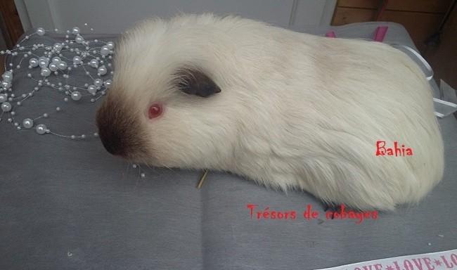 Bahia Des Trésors De Cobayes, rongeur Cochon d'Inde