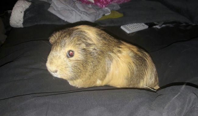 Baia, rongeur Cochon d'Inde