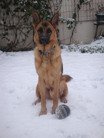 Bailey, chien Berger allemand