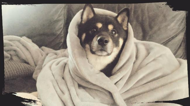 Baka, chien Shiba Inu