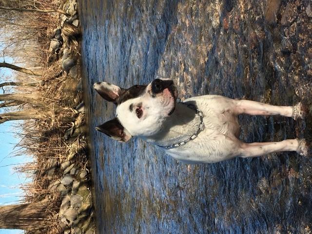 Baloo, chien Bull Terrier