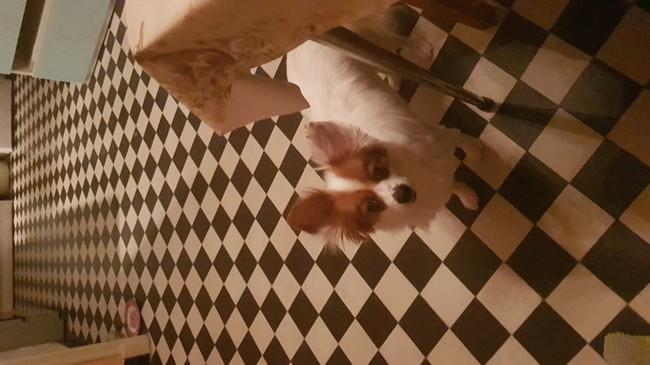 Bandit, chien Teckel