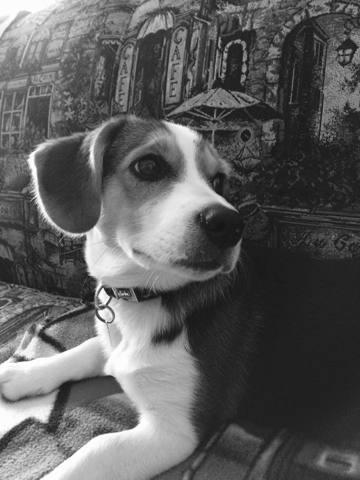 Bandit, chiot Beagle