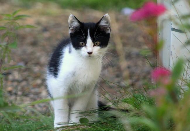 Bandit, chaton Européen