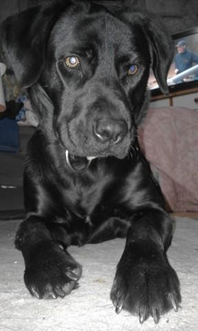 Bandy, chien Labrador Retriever