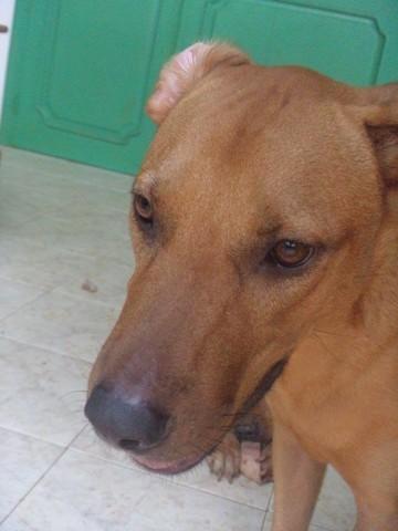 Banzai, chien