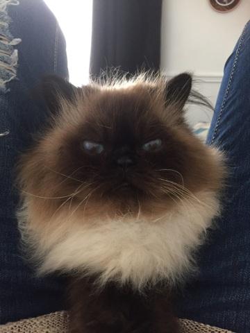Basile, chat Persan