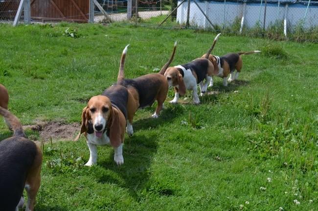 Photo de Toute Ma Meute, chien Basset artésien normand