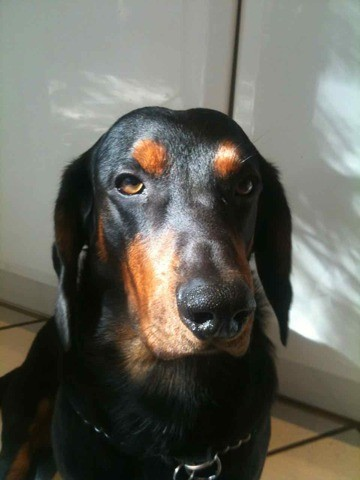 Cooper, chien Basset des Alpes