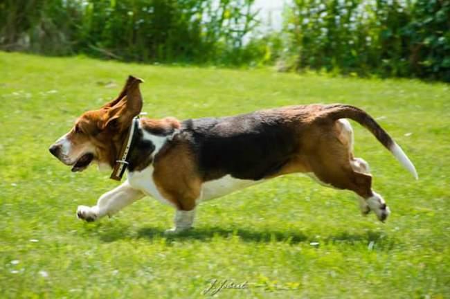 Skyler, chien Basset Hound