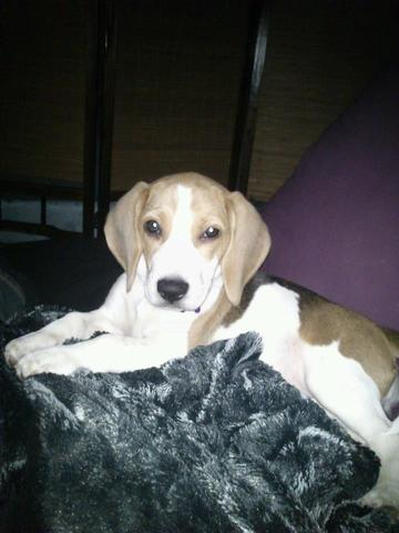 Heaven, chien Beagle