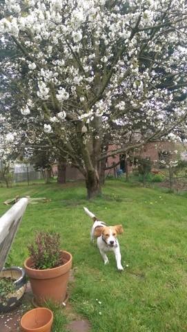Joy, chien Beagle