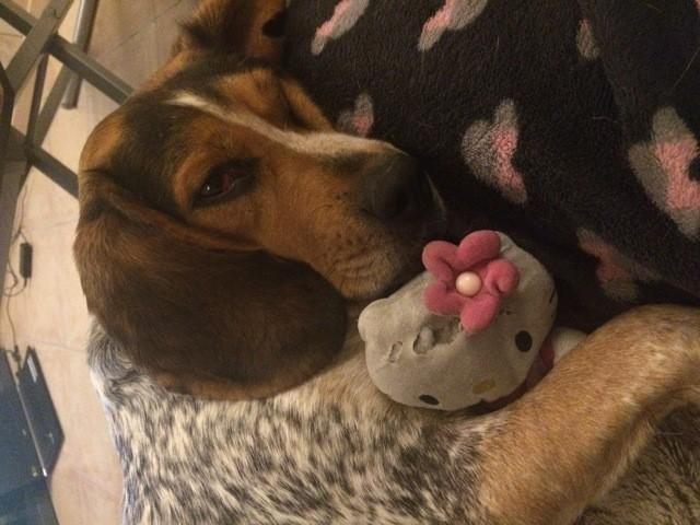 Rizla, chien Beagle