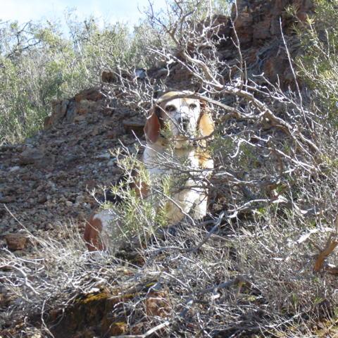 Douce, chien Beagle